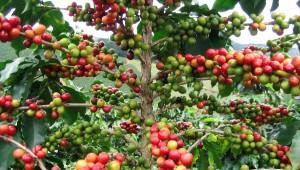 Arabica-pianta